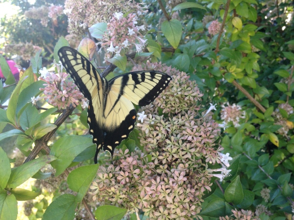 Surprise Blessing: Monarch Butterfly
